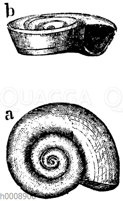 Scheibenschnecke: Gehäuse