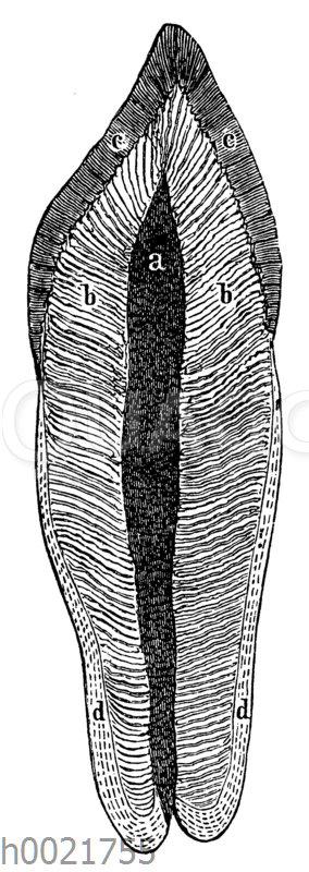 Längsschnitt eines menschlichen Schneidezahns