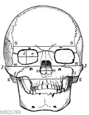 Schädelmessung am menschlichen Schädel