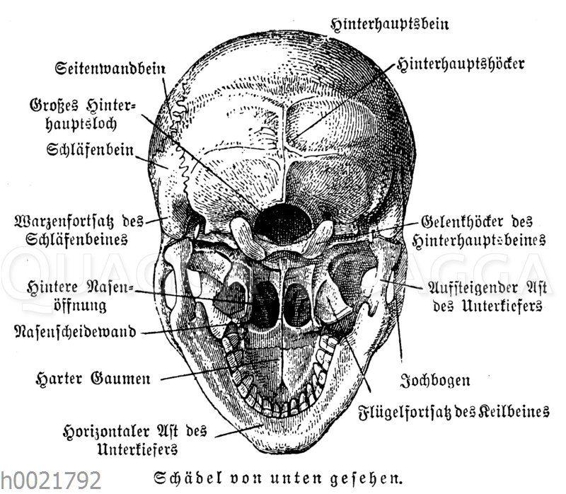 Menschlicher Schädel von unten gesehen