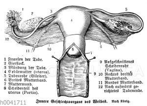 Frau: Innere Geschlechtsorgane ('Innere Geschlechtsorgane des Weibes')
