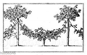 Kriechende Brombeere zu Hochstamm-Johannisbeeren heraufgeleitet