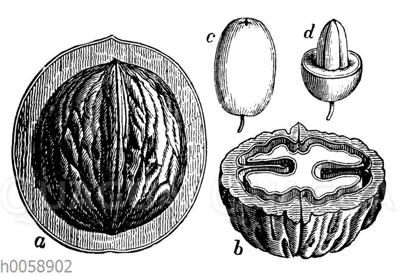 Steinfrüchte: Walnus und Kornelkirsche