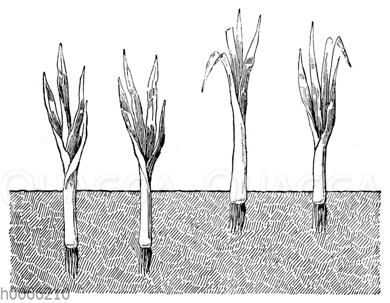Porreepflanzen