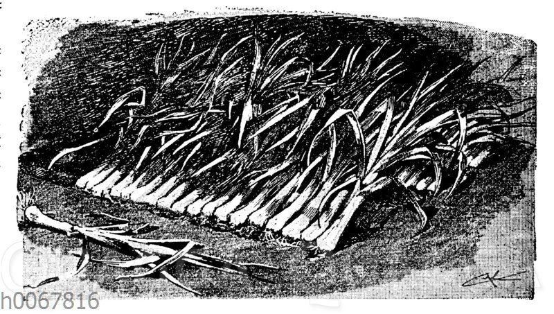 Porreepflanzen werden zum Überwintern in einer Miete dicht nebeneinander gelegt