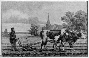 Ostpreußische Zoche: Pflügen mit Rindern