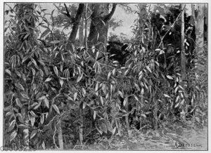 Vanillekultur auf Java