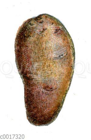 Kartoffel; Sorte: Quarantaine violette