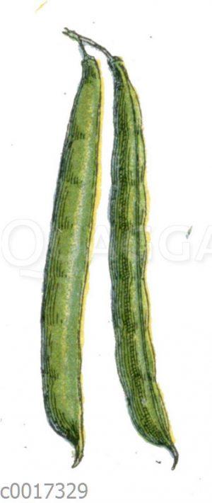 Gartenbohne