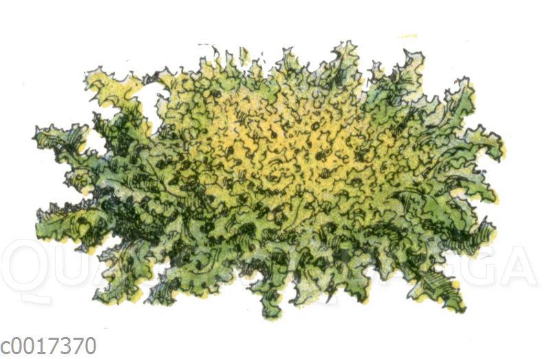 Salat: Sorte: Friseesalat