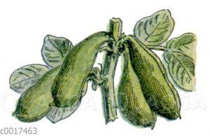 Ackerbohnen