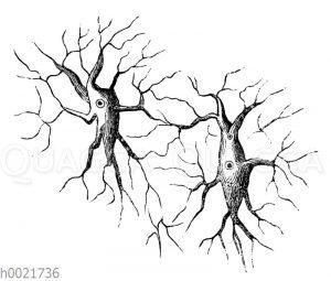 Knochenkörperchen mit dem Netz der Kalkkanälchen