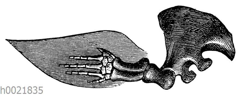 Delfin: Skelett des Armes und der Flosse