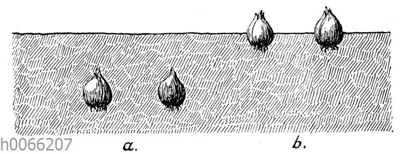 Pflanzen von Zwiebeln: a zu tief