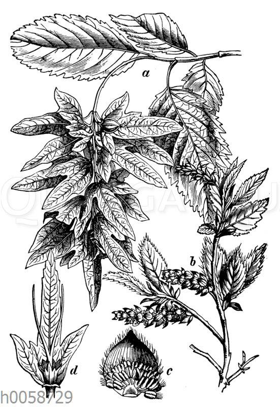 Hainbuche