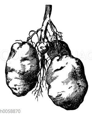 Unterirdische Ausläufer und Knollen der Kartoffel