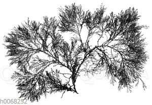Polysiphonia nigrescens (Alge)