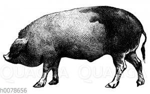 Schwein von Perigord