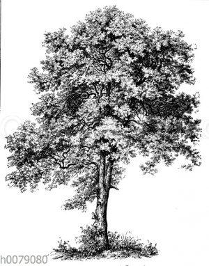 Bergahorn