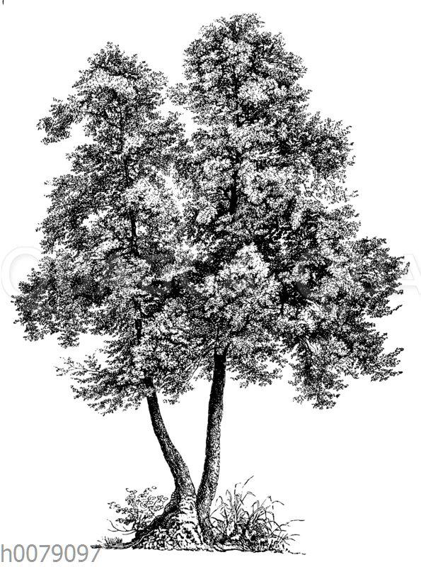 Schwarz-Erle
