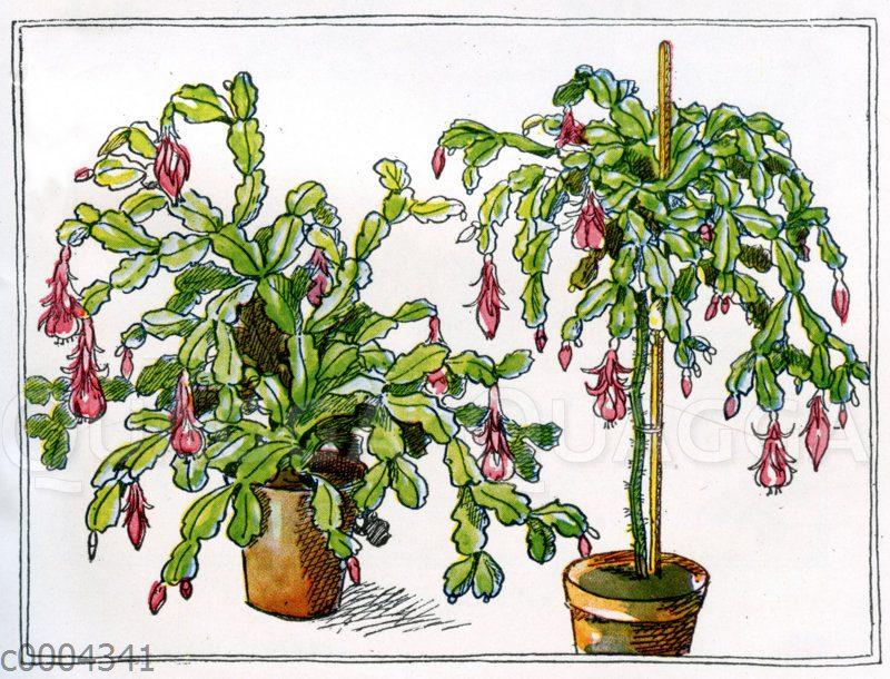 Epiphyllum (niedrig wachsend und als Hochstamm)