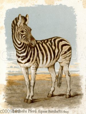 Burchells Pferd