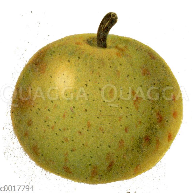 Rote Bergamotte-Birne