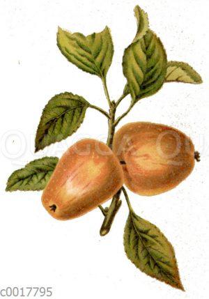 Roter Winter-Trauben-Apfel