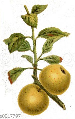 Deutscher Gold-Pepping-Apfel