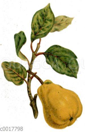 Portugiesische birnenförmige Quitte