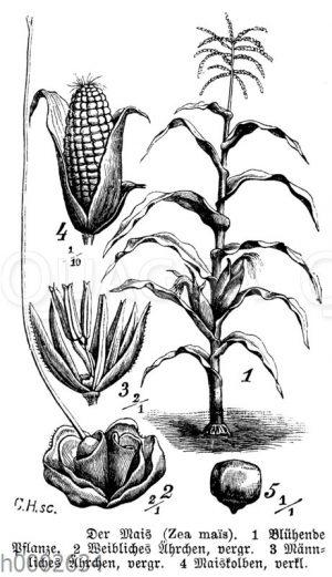 Maispflanze