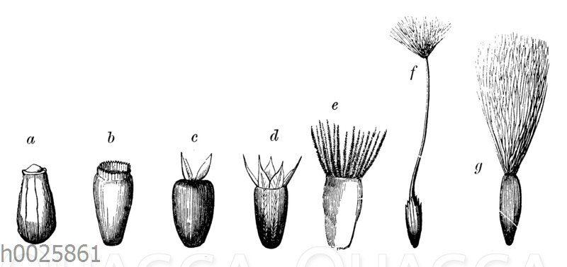 Schließfrüchte der Kompositen (Compositae)
