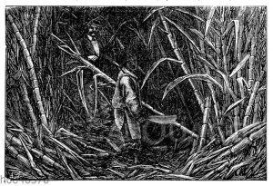 Schneiden von Zuckerrohr auf Jamaica