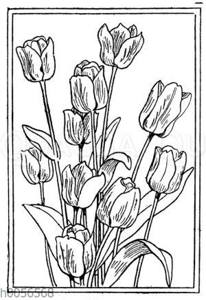 Darwin-Tulpe