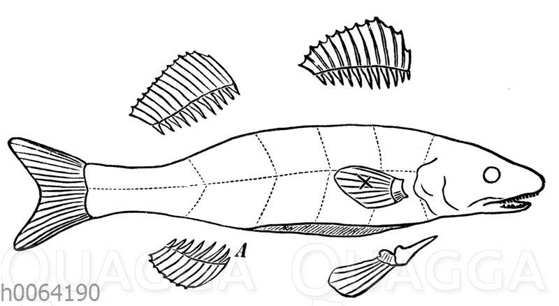 Zerteilung eines Fisches in der Küche