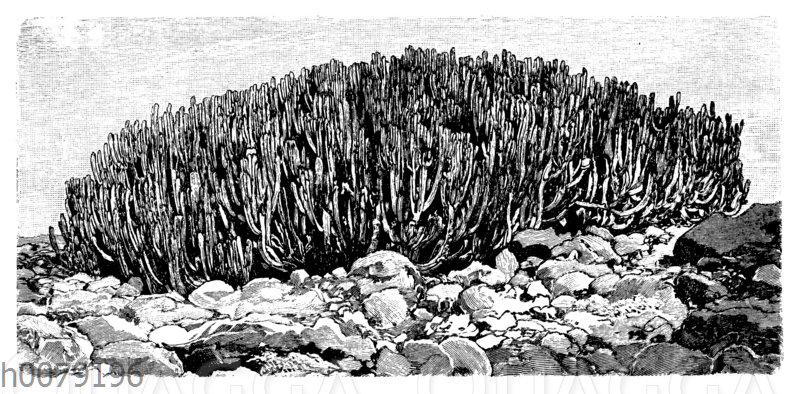 Nopal-Strupp aus der kanarischen Wolfsmilch (Euphorbia canariensies)