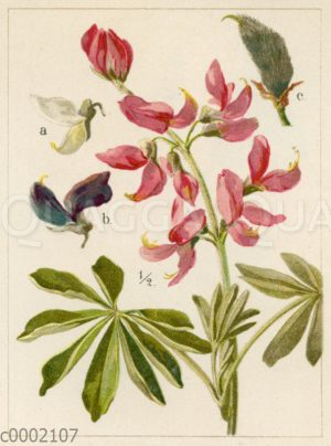 Behaarte Lupine