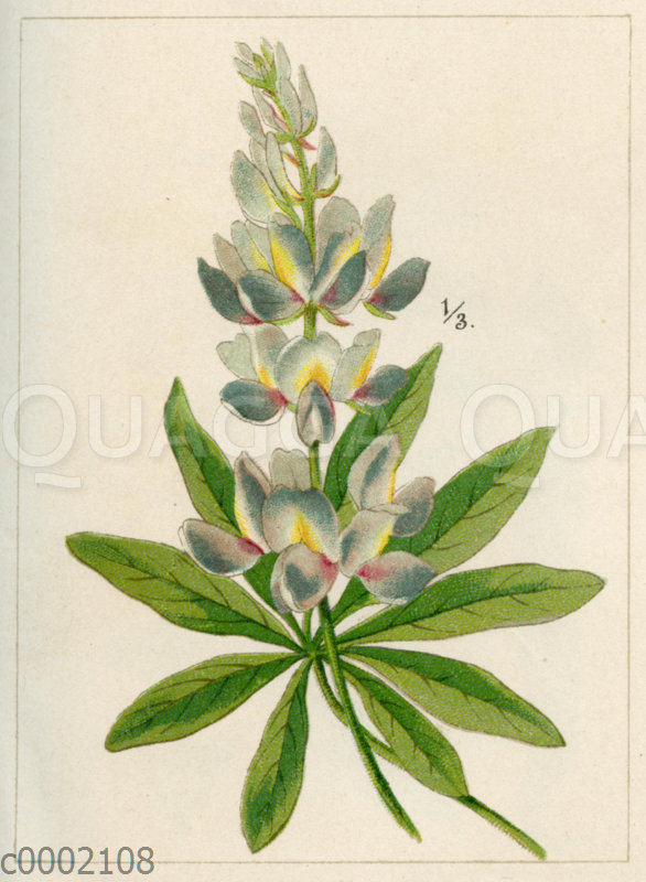 Anden-Lupine