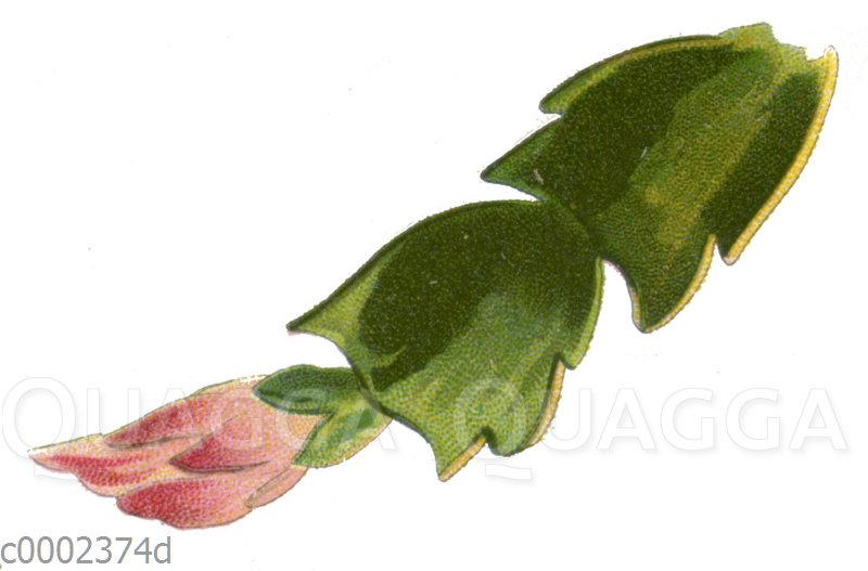 Schlumbergera truncata