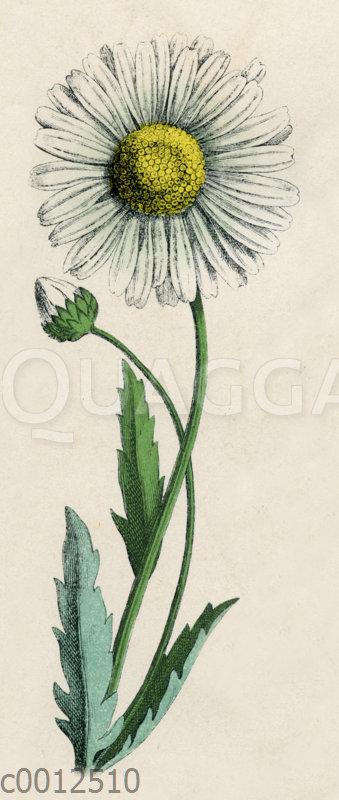 Weißstrahlige Wucherblume