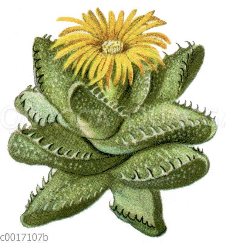 Mesembrianthemum tigrinum