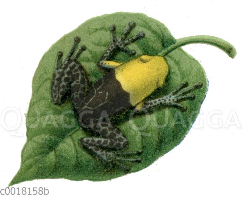 Hyperolius flavomaculatus