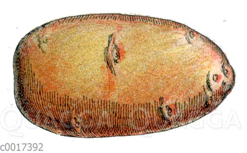 Längliche Kartoffel - Pomme de terre saucisse