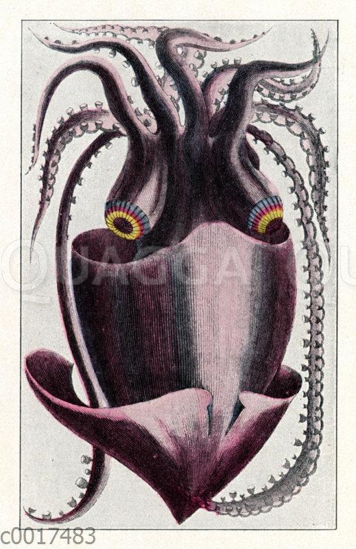 Brasilianischer Kalmar