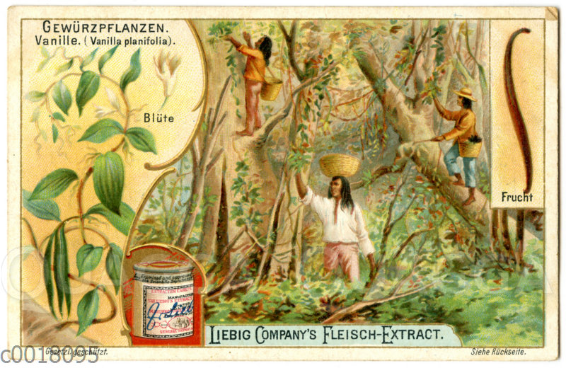Vanille: Pflanze