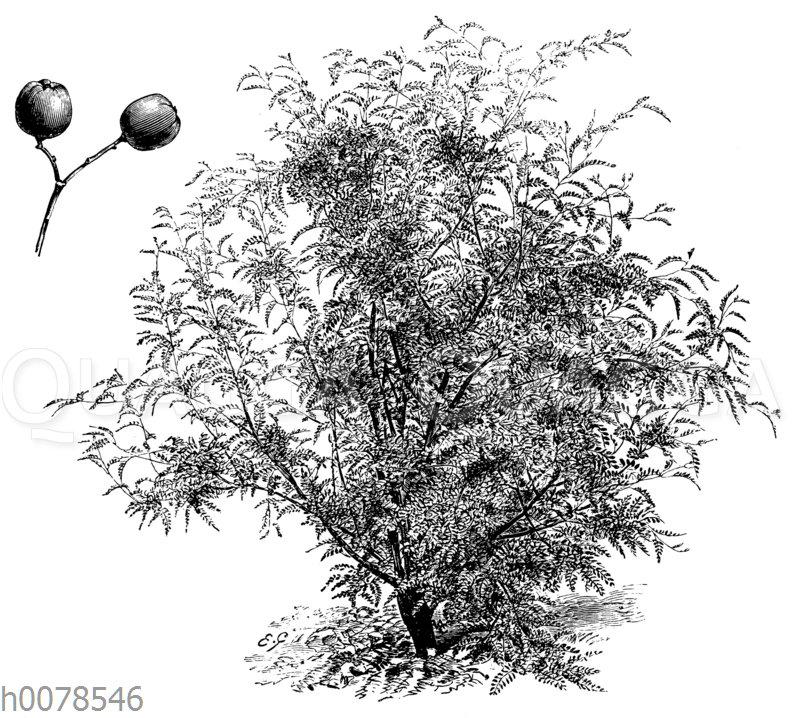 Cormus foliolosa