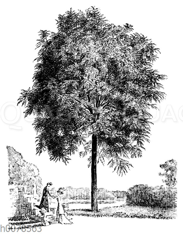 Schwarznussbaum
