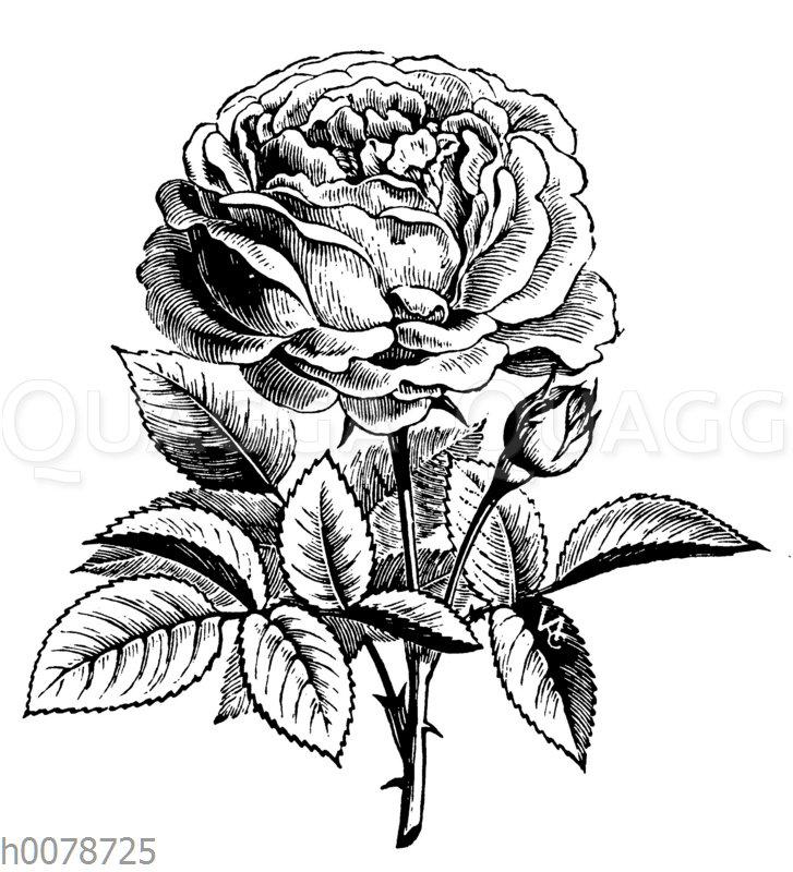 Rose La Reine