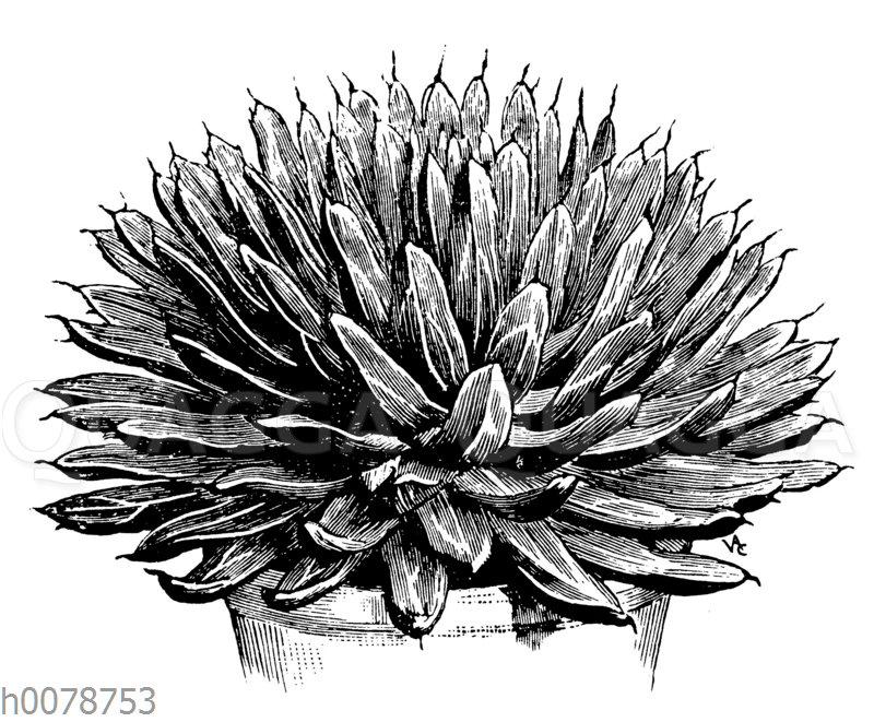 Royal Agave