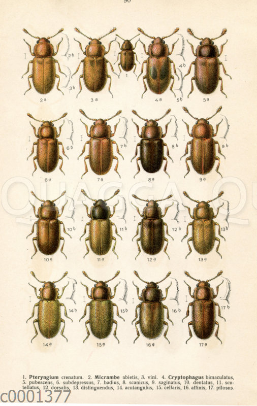 Pteryngium-Käferarten